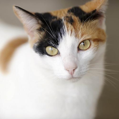 三毛猫の画像 p1_12