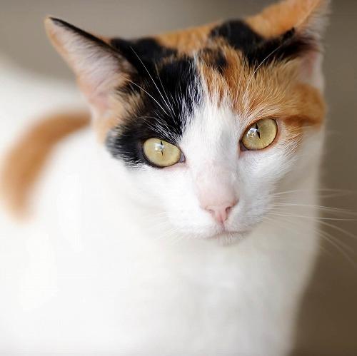 三毛猫の画像 p1_31