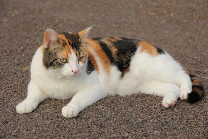 三毛猫の画像 p1_20