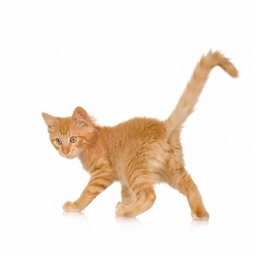 幸運を呼ぶかぎしっぽ しっぽが曲がっている2つの 猫壱(ねこいち・ネコイチ)公式サイト