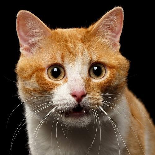 【鳴き声が切実】見逃すな!猫のストレス症状5つ …