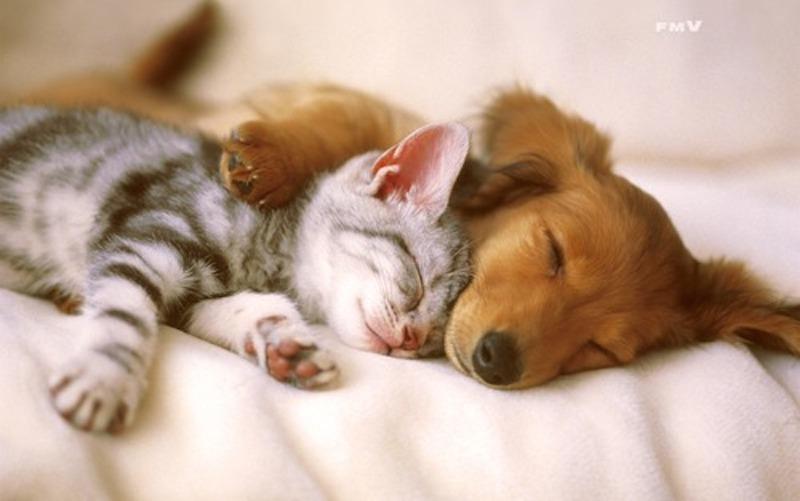 「猫 犬 仲良し」の画像検索結果