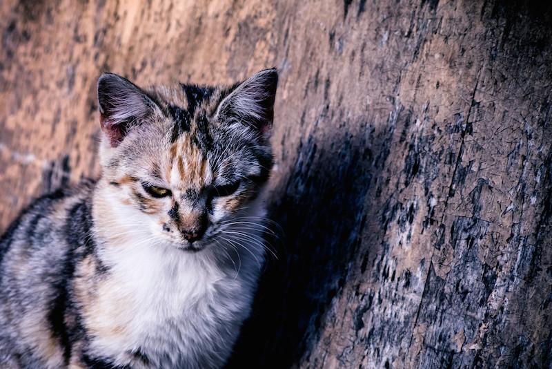 過敏 猫 知覚