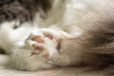 猫の足裏の毛、どうしてる?肉球周りの毛はカットした方がいい?