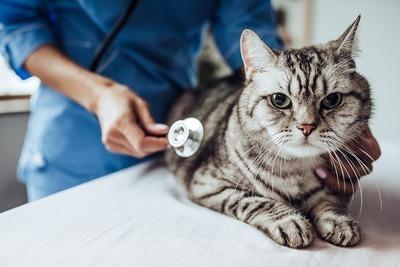 猫がまっすぐ歩けない!もしかしたら前庭疾患かも?