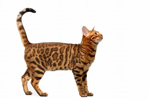 の たるみ 猫 お腹 の 猫のおなかのたるみの正体! なんでたるんでるの?