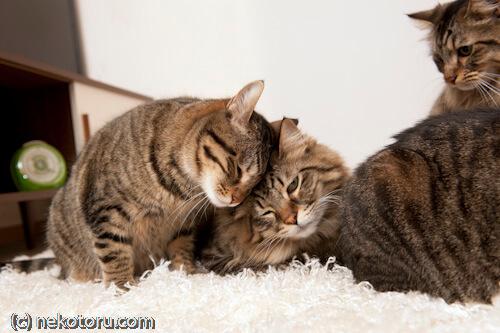 猫の頭突きは愛情表現