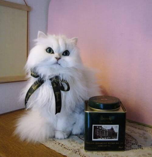 チンチラはモフモフな女王様?チンチラの猫の性格や特徴とは