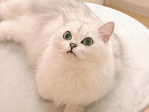 チンチラの特徴は?|猫壱(ねこいち・ネコイチ)